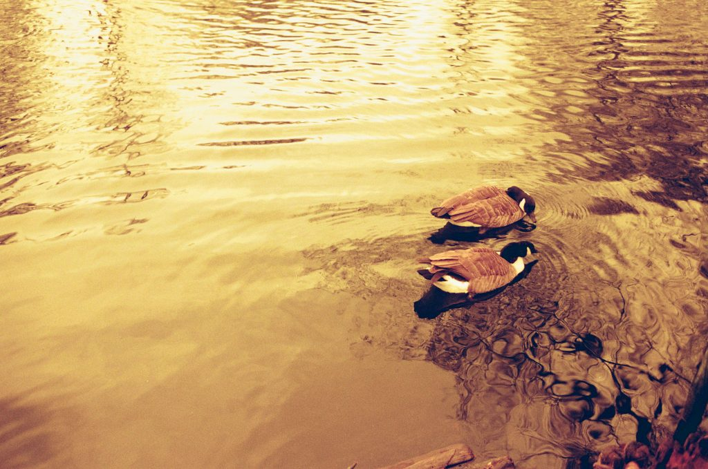 Here is our Redscale Kodak ColorPlus 200 Film Review. Ducks on pond