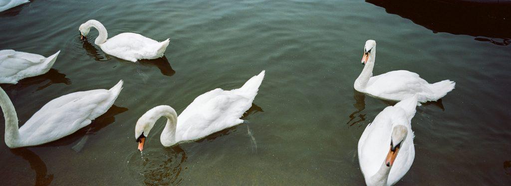 Kodak Portra 160 Swans Hyde Park
